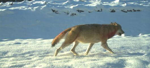 Hva skal vi med ulv egentlig?