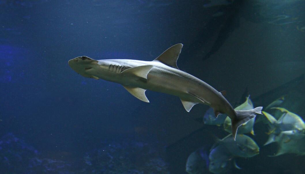 Hammerhaien Sphyrna tiburo er ikke som andre haier. Den spiser sjøgress. (Foto: Jiri Prochazka / Shutterstock / NTB scanpix)
