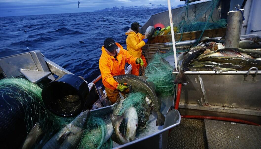 Flere andre fiskearter vil kunne rammes langt hardere enn torsk av utslipp. Hyse er for eksempel ti ganger mer sensitiv for oljesøl. (Foto: Cornelius Poppe, NTB scanpix)