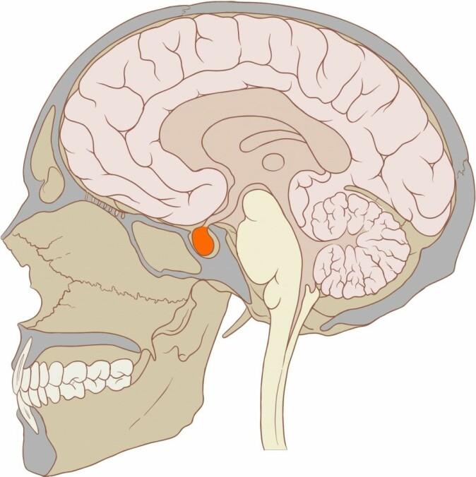 Puberteten starter i en liten kjertel på undersiden av hjernen som produserer to hormoner ved navn FSH og LH. (Illustrasjon: Patrick J. Lynch/Wikimedia Commons)