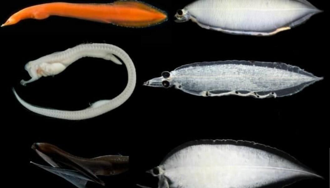 Her ser vi tre av de fem kjente familiene av dyphavsål. Ålefamiliene i voksenstadiet på venstre side og i larvestadiet på høyre side. Fra toppen: den pelagiske røde snipeålen, kjevefisk og pelikanål. (Foto: Poulsen et al., Plos One)