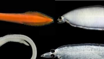 Forskere finner mystisk fisk i havdypet