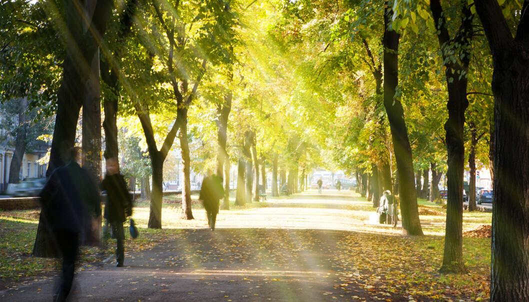Dersom det blir for varmt vil det bety tørke og lav vekst for trærne. Men enn så lenge ser det ut til at trær har hatt fordeler av høyere temperatur i byen. [Foto: Konstanttin / Shutterstock / NTB scanpix]
