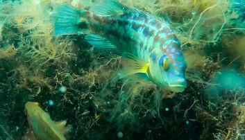Forskarar vil bruke ansiktsgjenkjenning på fisk