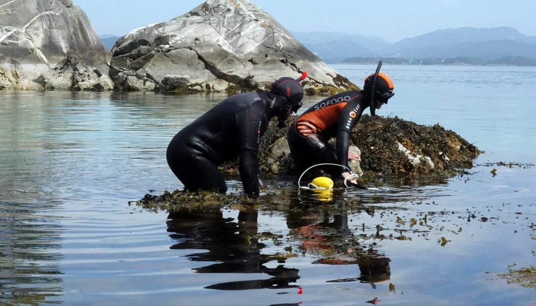 Kim Halvorsen og kollega Caroline Durif skal snorkle ut til leppefisken sine reir for å legge ut utstyret. (Foto: Torhild Dahl, Havforskningsinstituttet)