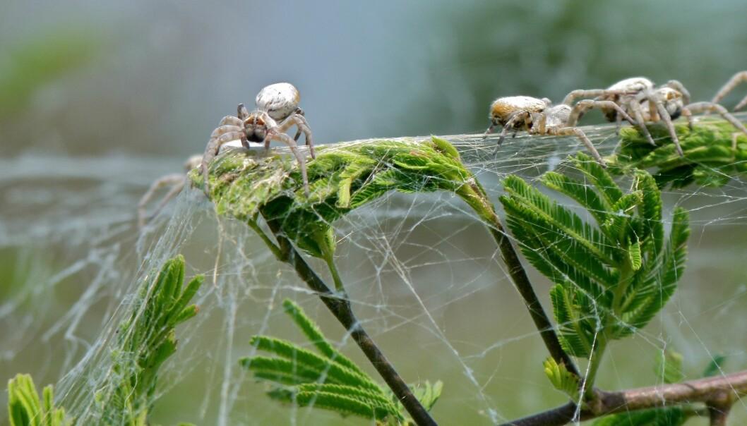 <i>Stegodyphus dumicola</i> lever i grupper. Medlemmene av hver gruppe kan ofte ha ulik personlighet, ifølge forskere. (Foto: Bernard DUPONT, via Wikimedia commons)