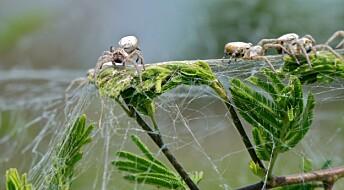 Edderkopper trenger også en tøffing i gjengen