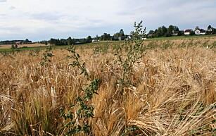 Hvorfor slet ikke ugraset like mye som kornet i sommer?