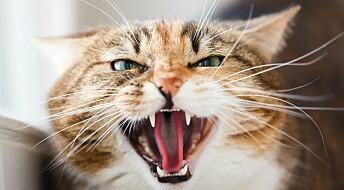Er katten din i dårlig humør? Det kan skyldes artrose