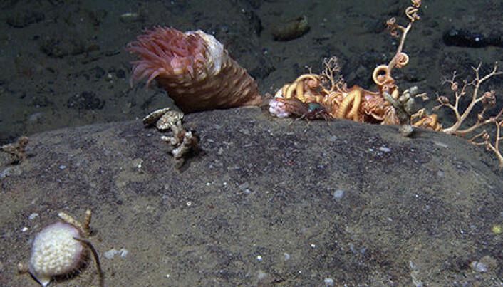 Her rek det også rundt fleire, vi ser både Spirontocaris (reka) og eit kamuflert haneskjell. (Bilde: MAREANO/HI)