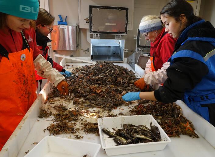 Under toktet ble det tatt en rekke prøver som etterpå ble sortert og nå skal analyseres. (Foto: Espen Bagøien / Havforskningsinstituttet)