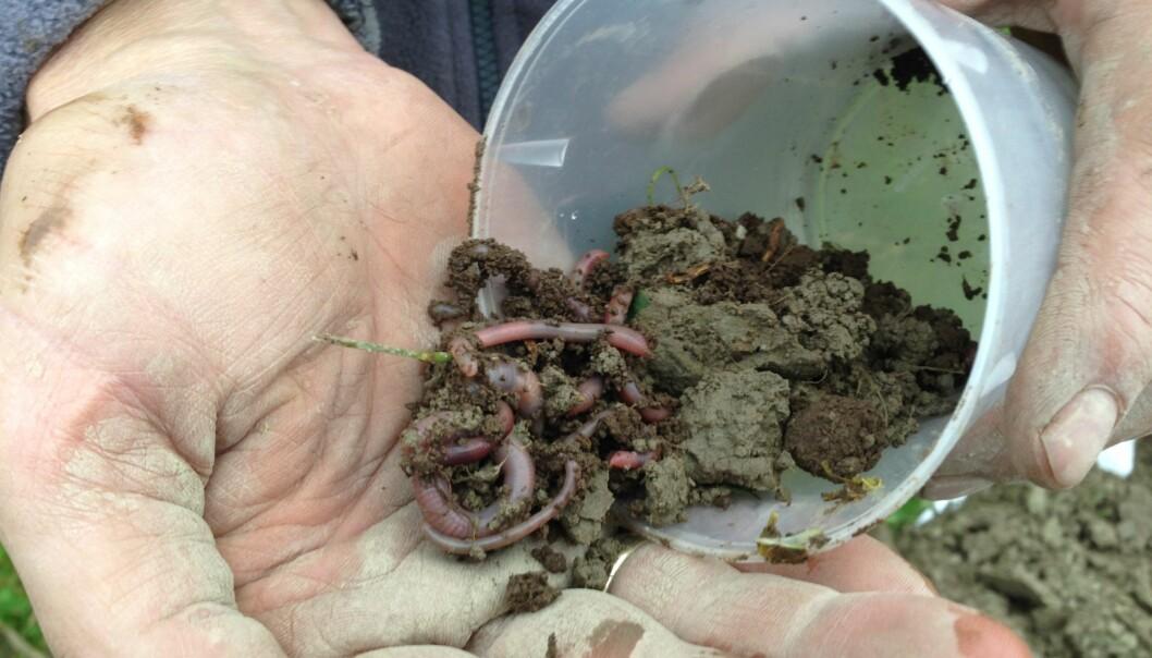 Hva sier meitemark og mikroorganismer til å leve i nærheten av planter som er sprayet med glyfosat? (Foto: Reidun Pommeresche / NORSØK)