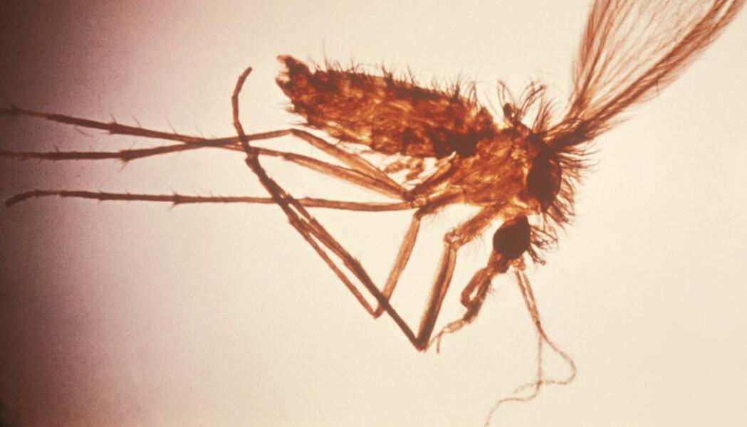 Sandflua Phlebotomus er en av smittebærerne av leishmania-parasitter.