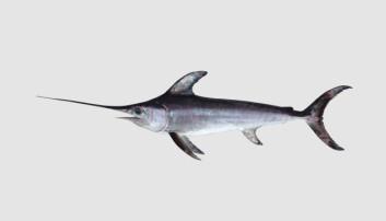 Sverdfisken er en sjelden art i norske farvann. Likevel dukket det nylig opp et eksemplar på Huk. Tall fra Havforskningsinstituttet viser at det er flere sverdfisk som velger å ta turen nordover. (Foto: Havforskningsinstituttet)