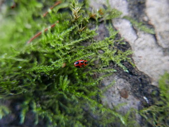 Endomychus coccineus, soppmarihøne. (Foto: Rannveig M. Jacobsen)