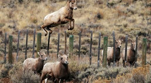 Mener å finne klare bevis på at villsau og elg lærer hvor de skal beite av hverandre
