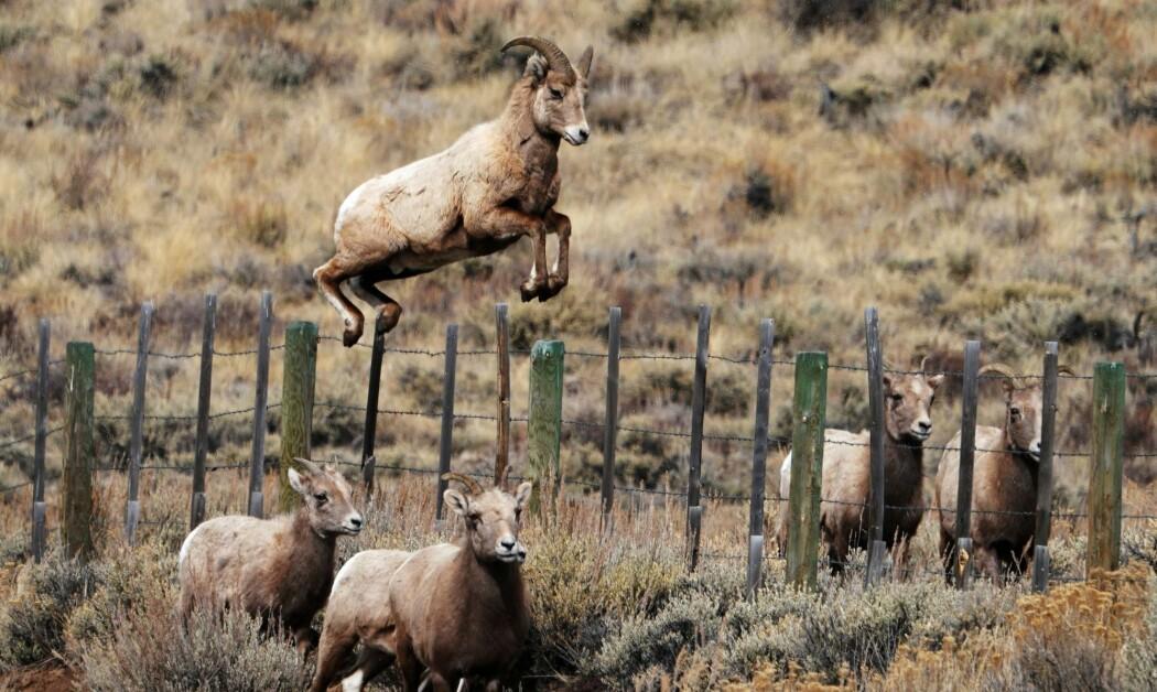 Tykkhornsau i Colorado i USA. (Bilde: AFP/Don Emmert/NTB Scanpix)