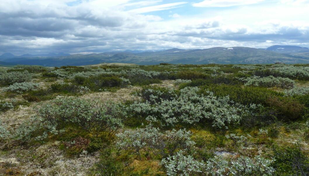 Hvilken type vegetasjon lagrer mest karbondioksid? Svaret var ikke det forskerne trodde. (Foto: Mia Vedel Sørensen / NTNU)