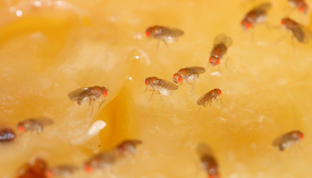 Bananflua puster, har sannsynligvis immunforsvar, kurtiserer hunnen med å vifte med vingene, har sex, spiser, føder, påvirkes av temperatur og har ulikt aktivitetsnivå på natta enn på dagtid. Da er det kanskje ikke rart at så mange forskere velger å ta en nærmere titt på de små insektene. (Illustrasjonsfoto: Shutterstock / NTB Scanpix)