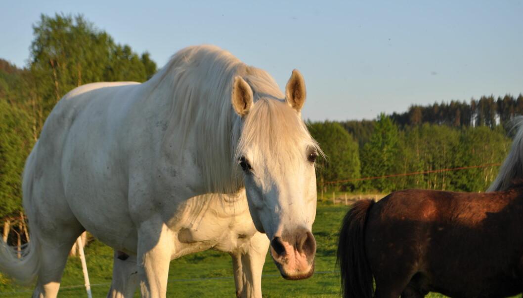- Resultatene oppmuntrer oss til å være mer bevisst på de signalene vi sender når vi kommuniserer med hester og andre dyr, sier Clara Wilson, en av forskerne i studien. [Foto: Elise Kjørstad]