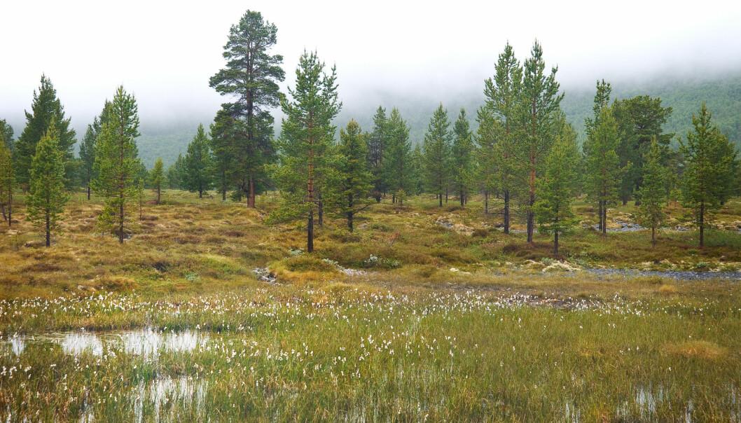 Myra inneholder store mengder CO2. For å unngå at den havner i atmosfæren, er det viktig at vi tar vare på norsk myr. (Illustrasjonsfoto: OpopO / Shutterstock / NTB scanpix)