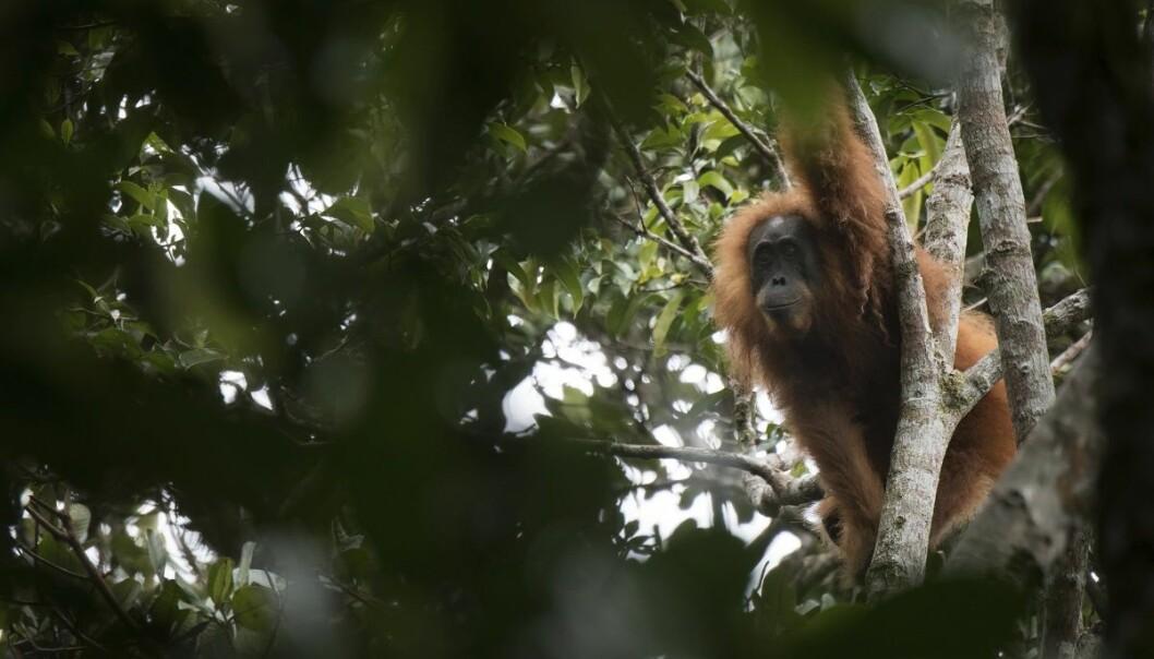 Et udatert bilde viser en tapanuli-orangutang i Batang Toru-skogen på Nord-Sumatra. (Foto: Jonas Landolt, Sumatran Orangutan Conservation Programme via AP, NTB scanpix)
