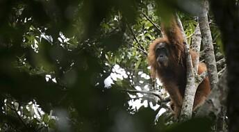 Ny orangutang-art funnet – kan snart være utryddet