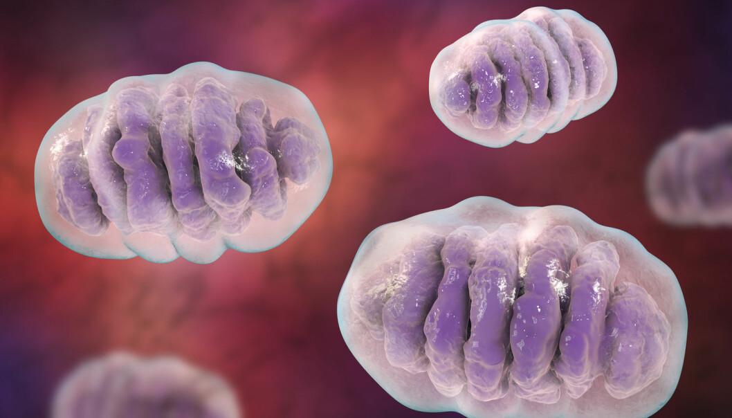 Endosymbioseteorien, som ble lansert for femti år siden, handler om at de enkelte organellene i cellene våre ble dannet fordi to celler slo seg sammen. Takket væreavanserte DNA-analyser er det mulig å vise at de to organellene var mitokondrier. (Illustrasjon: Kateryna Kon / Shutterstock / NTB scanpix)