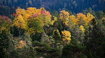 Bakgrunn: Hvorfor blir bladene gule og røde om høsten?