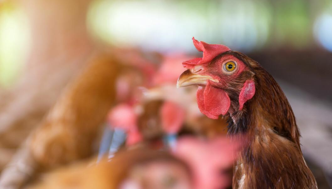 Brune høner legger ofte – men slett ikke alltid – brune egg.  (Illustrasjonsfoto: 24Novembers / Shutterstock / NTB scanpix)