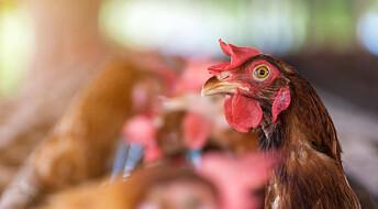 Spør en forsker: Hvorfor er noen egg brune og andre hvite?