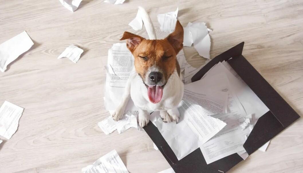 Glupske hunder og andre unnskyldninger: - Noen forskere er veldig produktorientert, og for noen er det slik at målet helliger middelet, mener to tidsskriftredaktører og skriver det i Oncogene. (Foto: Sundays Photography / Shutterstock / NTB scanpix)
