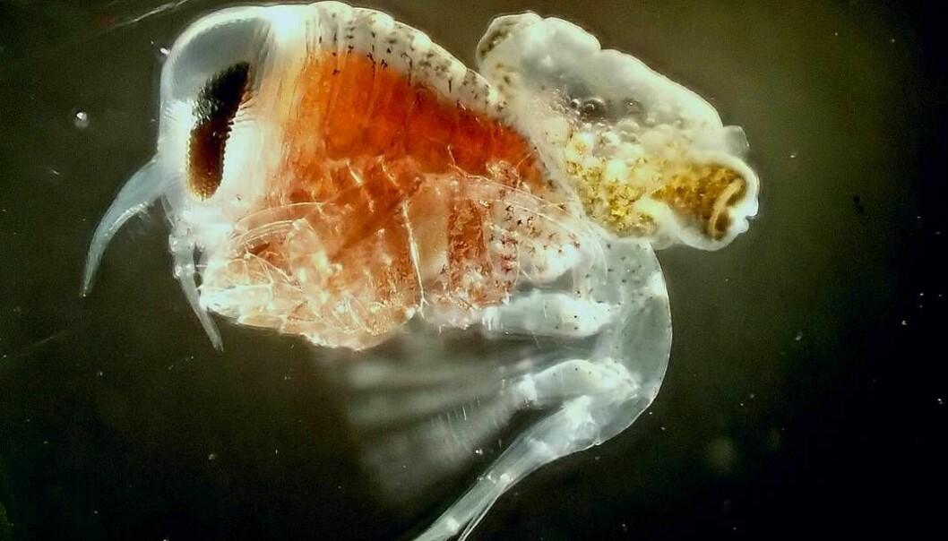 Denne tangloppa har funnet seg en sjøengel som den har fanget og holder fast på ryggen. [Foto: Charlotte Havermans/ Alfred Wegener Institute].