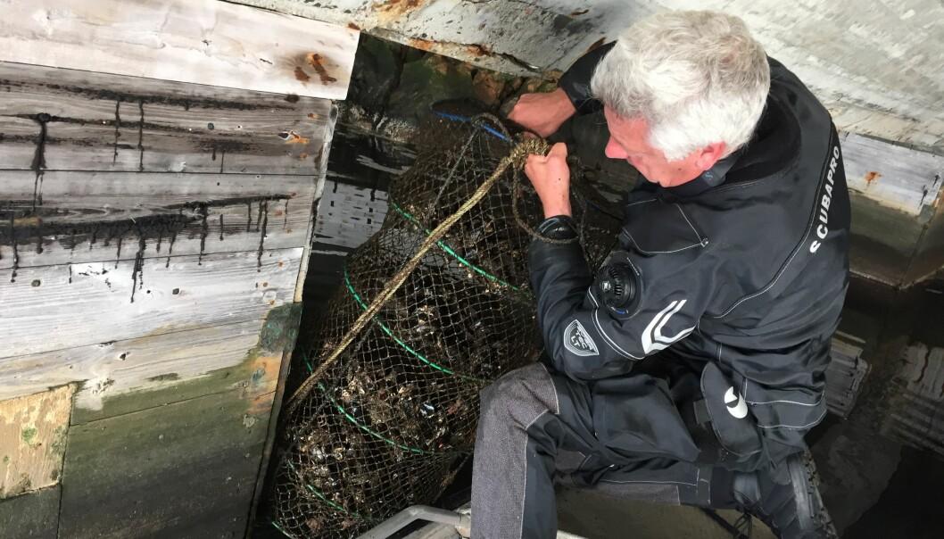 Kan innflyttar-blåskjel overvake miljøgifter like godt som innfødde skjel? Her undersøker Jarle Håvardstun, overingeniør ved NIVA, utplasserte blåskjel under ein kai i Kristiansand. (Foto: Lise Tveiten, NIVA)