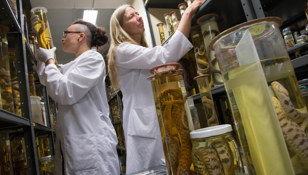 REDNINGSKVINNENE: Den nye konserveringsteknikken til Dawn Williams (t.v.) og Ann-Helen Rønning redder universitetets store spritsamling av gamle fisk, amfibier og krypdyr.  (Foto: Yngve Vogt)