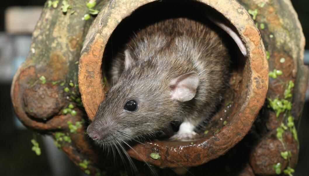 Den brune rotten lever i kloakk over hele verden. Men hva lever den av der nede?  (Foto: Erni / Shutterstock / NTB scanpix)