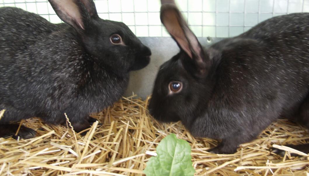 Kaniner som går ut om vinteren, krever mye av de som eier dem. (Foto: Håkon Sparre)