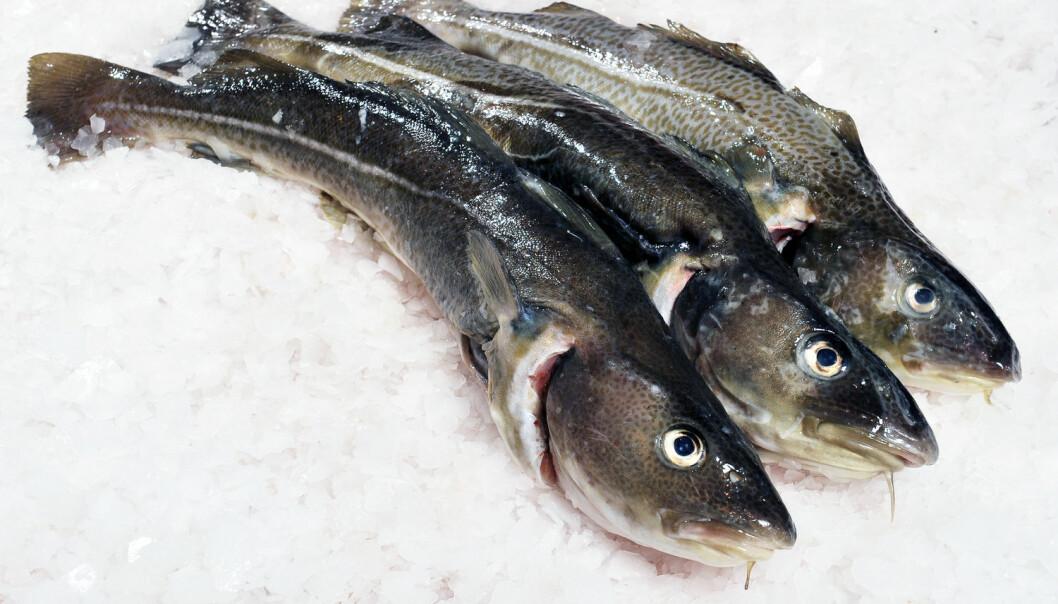 Frysing rett etter fangst og kontrollert tining av torsken i vatn gir «fersk» kvalitet utanfor sesongen viser nytt forskingsprosjekt. (Illustrasjonsfoto: Shutterstock / NTB Scanpix)