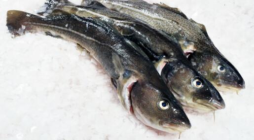 Smart frysing og tining gir fersk torsk heile året