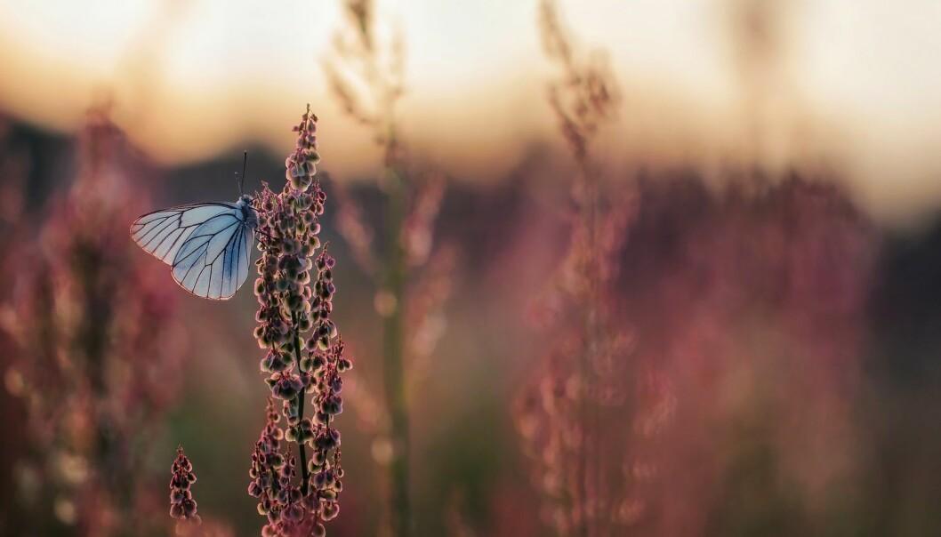 Vi vet at det blir færre insekter i deler av verden, men hvis vi også hadde visst mer om hvilke som forsvant, ville det ha fortalt oss mer om årsaken. (Foto: Marek Mierzejewski / Shutterstock / NTB scanpix)