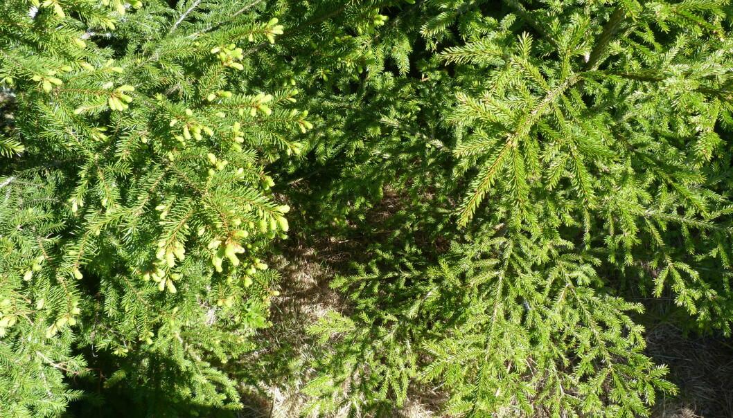 To genetisk identiske grantrær på Ås midt i mai 2017. Treet til venstre som vokste opp fra et frø dannet under kjølige forhold (18° C), har hvert år tidligere knoppsprett enn treet til høyre som kom fra et frø utviklet under varme forhold (28° C). (Foto: Marcos Viejo, NMBU)
