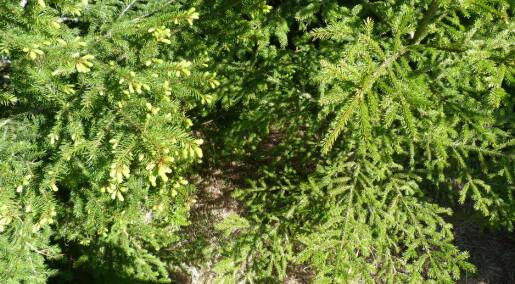 Forskeren forteller: Norske trær reagerer raskt på klimaendringer