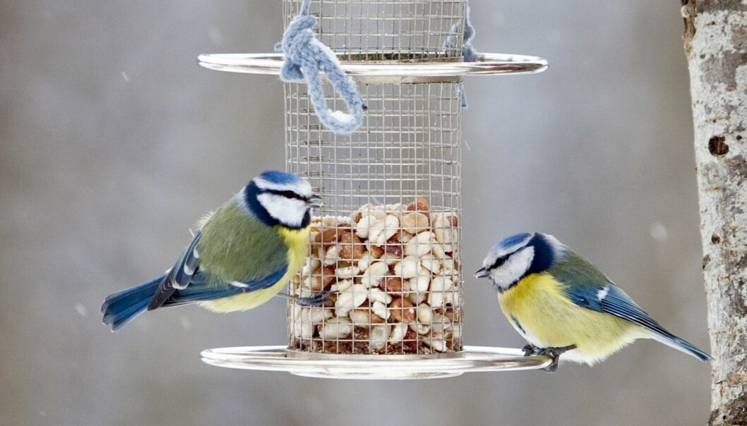 To blåmeiser spiser nøtter fra en fôringsautomat. Det er gjerne kjøttmeisen som har den største fordelen av folks fuglemating, ifølge fugleforsker Tore Slagsvold. (Foto: Paul Kleiven / NTB scanpix)