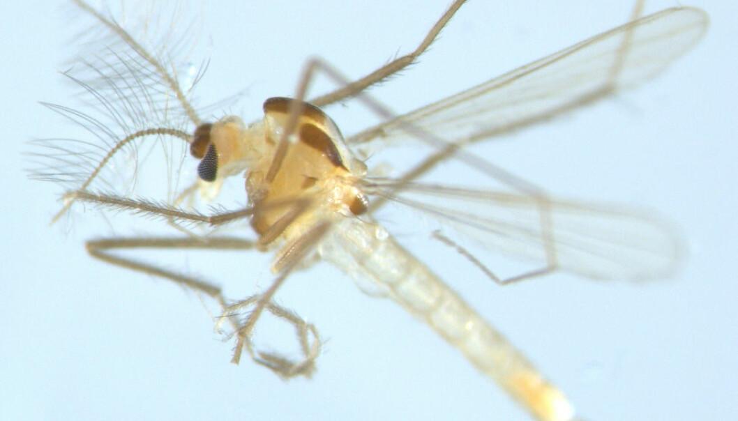 Denne myggen er en nyoppdaget norsk fjærmyggart som har fått navnet Tanytarsus adustus. (Foto: Xiaolong Lin, NTNU Vitenskapsmuseet)