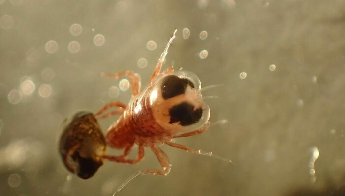 Dette dyret har fanget en litt annen type vingesnegle som kalles <i>Spongiobranchaea australis</i>. Den er brunaktig i fargen. [Foto: Charlotte Havermans/ Alfred Wegener Institute].