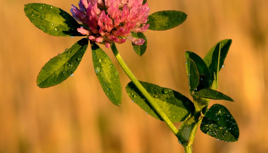 Denne lille urten inneholder kanskje nøkkelen til å forhindre at kvinner får beinskjørhet.  (Foto: Ivar Leidus / Wikimedia Commons)