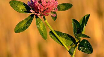 – Beinskjørhet kan stoppes med rødkløver