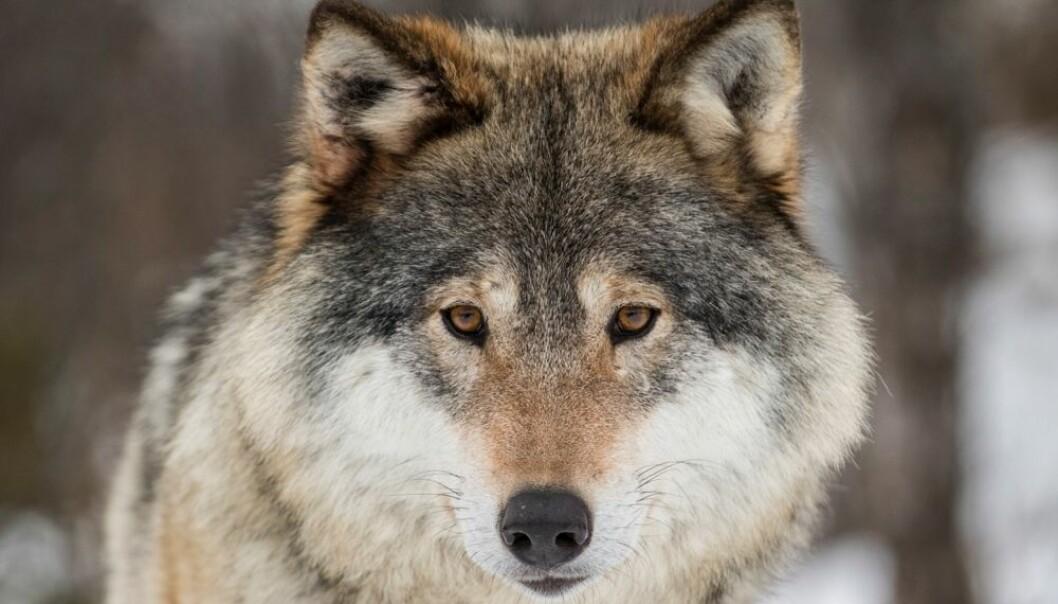 Ulvemotstanderne hevder med jevne mellomrom at den ulven vi har i Norge ikke har kommet hit av seg selv men er satt ut av mennesker. Noen påstår at den er en blanding mellom ulv og hund. Derfor ikke trenger å verne om den, hevdes det. Ny genteknologi kan fastslå hvor ulven vår kommer fra. Et nytt prosjekt settes snart igang. Får vi da et svar med to streker under som alle kan akseptere? (Foto: Heiko Junge / NTB scanpix)