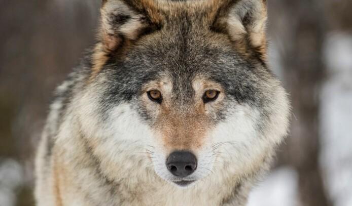 Hvor kommer egentlig ulven fra?
