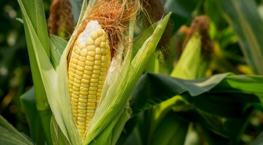 Faktisk.no: Ingenting tyder på at det er farlig å spise GMO-mat